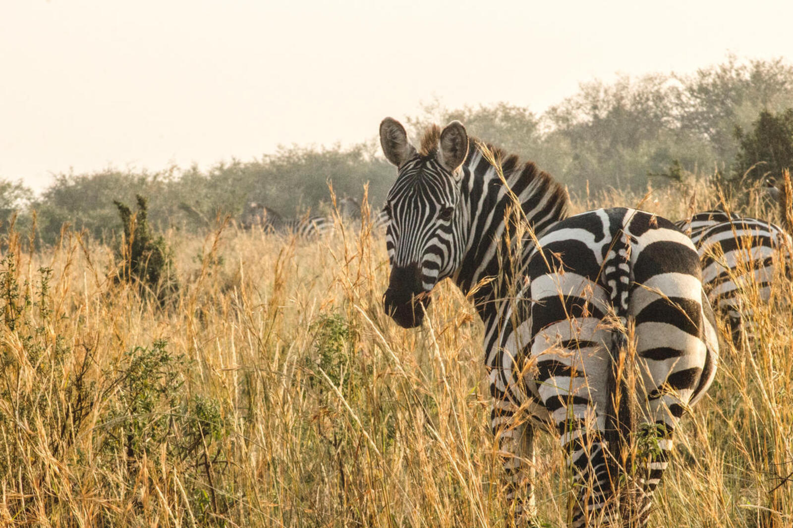 A zebra standing in tall grass turns its head around to look at the camera as teh sun sets