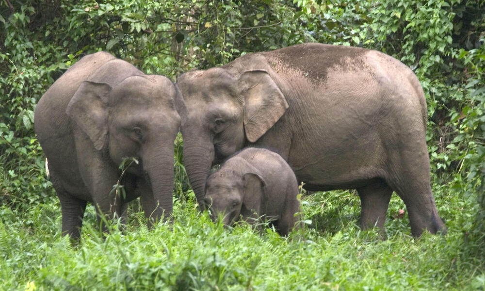 Bornean Pygmy elephant family