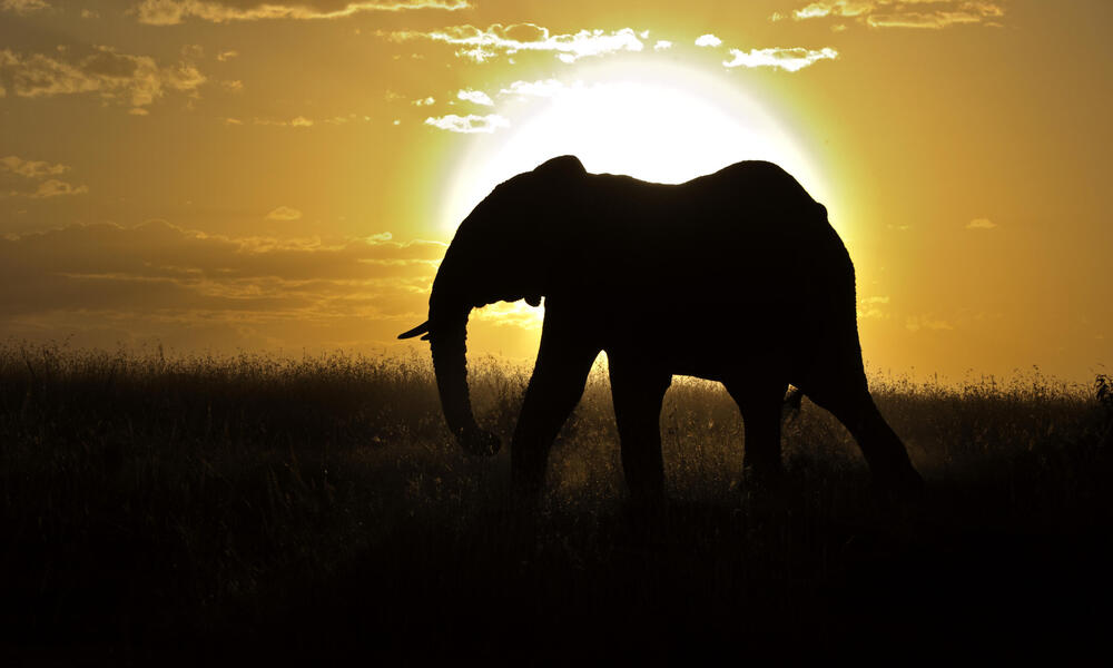 African elephantAfrican Elephant (Loxodonta africana) bull silhouetted against setting sun, Masai Mara, Kenya, Africa
