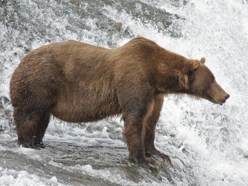 alaskan brown bear Drew Hamilton