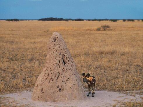 Wild dog next to anthill