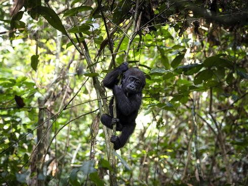 Western lowland baby gorilla_Dzanga Sangha