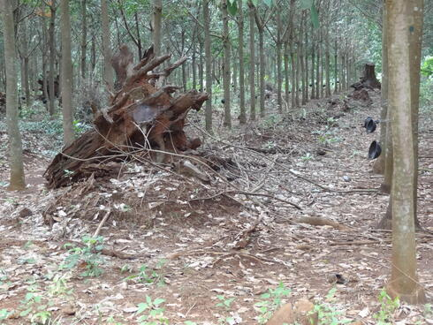A forest that was destroyed to create a rubber plantation.