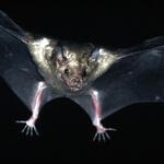 Cuban fig-eating bat