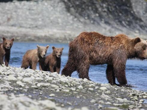 bears in alaska Drew Hamilton