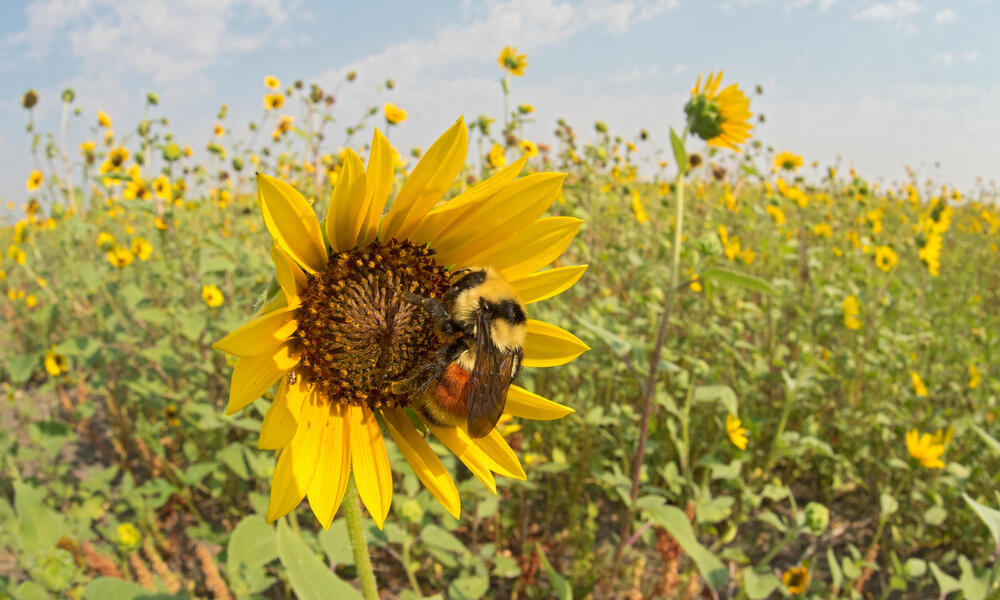 Hunt's Bumble Bee on sunflower
