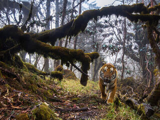 bhutan tiger caught winter2017