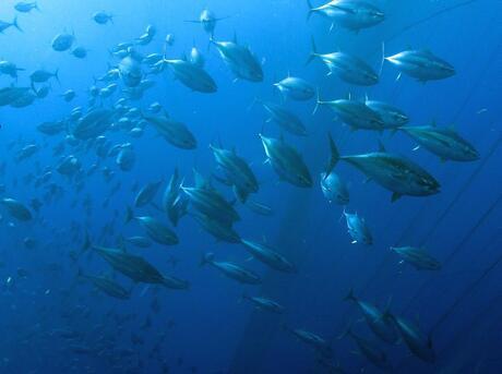 school of bigeye tuna