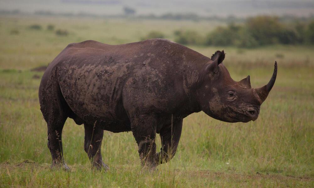 Black Rhino (Diceros Bicornis). Maasai Mara National Reserve, Kenya.