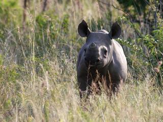 black rhino calf in tall grass