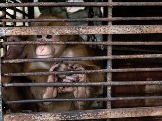 Two tan monkeys held in a cage looking out between the bars