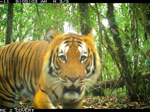 A close up portrait of a large female tiger looking at the camera with a jungle scene in the background