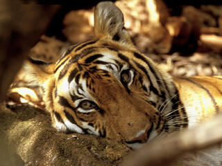 captive tiger behind fence