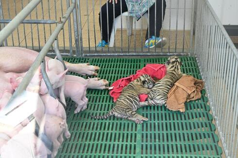 Two tiger cubs laying on towels in a cage next to piglets