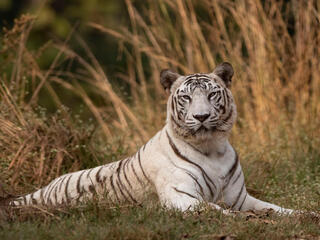 A large white tiger lays down in the grass looking at the camera with tall reeds in the background