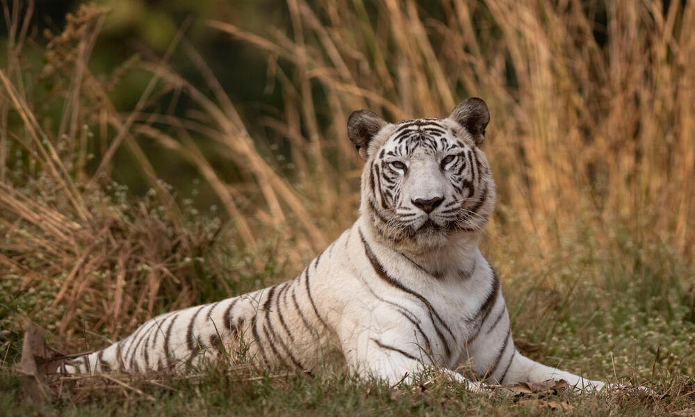What You May Not Realize About White Tigers