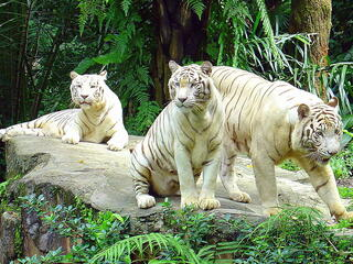 3 large white tigers resting on a rock in a forested area in captivity