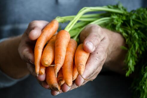 Hands holding a bundle of carrots just pulled from the ground