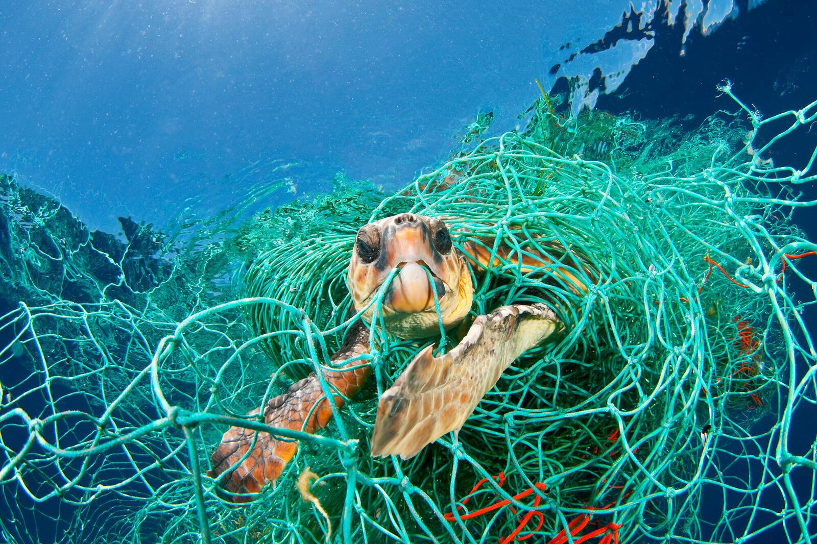 Turtle caught in net