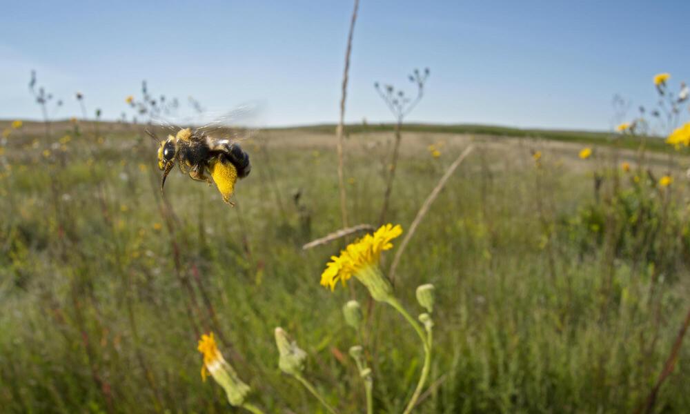 NGP Sunflower Bee