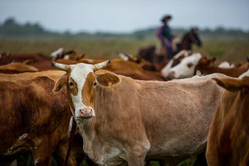 Herding cattle at El Cachepé Ranch and Wildlife Refuge. La Eduvigis, Chaco region, northern Argentina.Gran Chaco region, Northern Argentina.