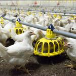 Chickens feeding at a farm