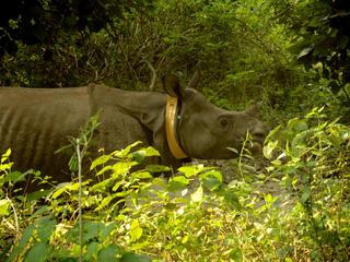 collared rhino Khata corridor