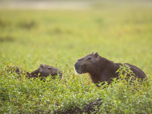 colomia capybara winter2017