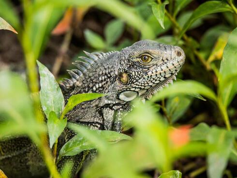 colomia iguana winter2017