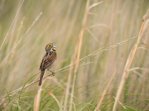 Singing male dicksisel, a grassland songbird, Daybreak Ranch, South Dakota, USA