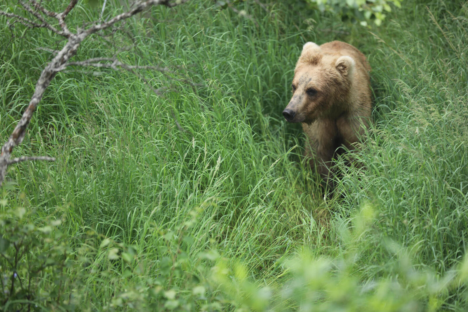 Grizzly bear in high grass