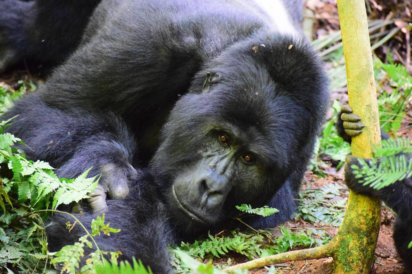 discover gorilla fall2018