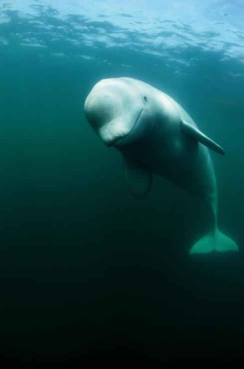 Beluga under water