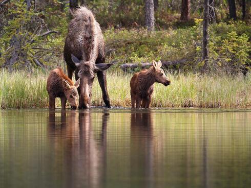 Moose at stream