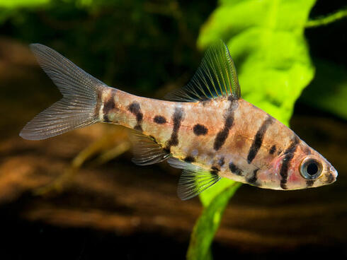 eight-banded barb CK Yeo WW173694