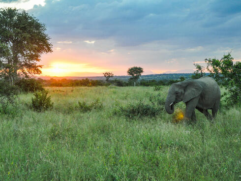 Elephant walks through savannah in South Africa as sun sets in background