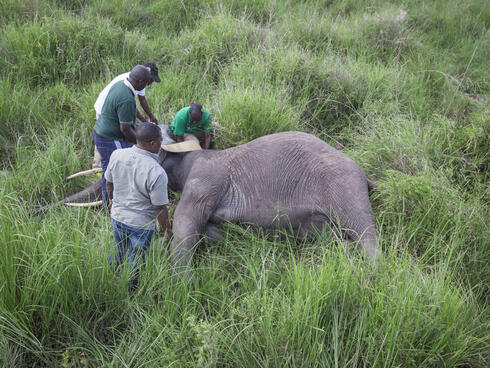 data sheet on collared elephant