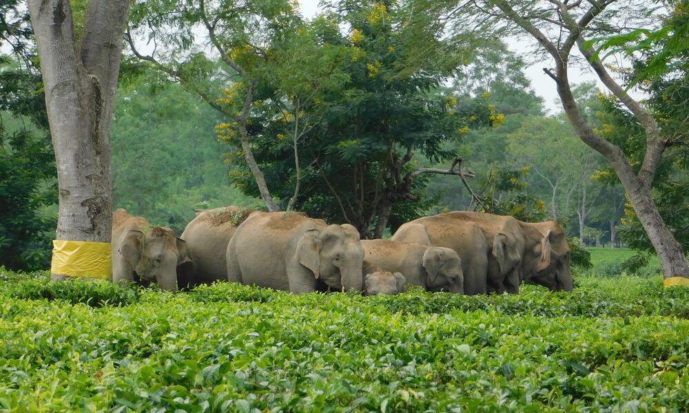 Herd of elephants walking through tea garden in Assam, India