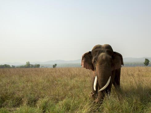 Asian elephant (Elephas maximus) in grassland.
