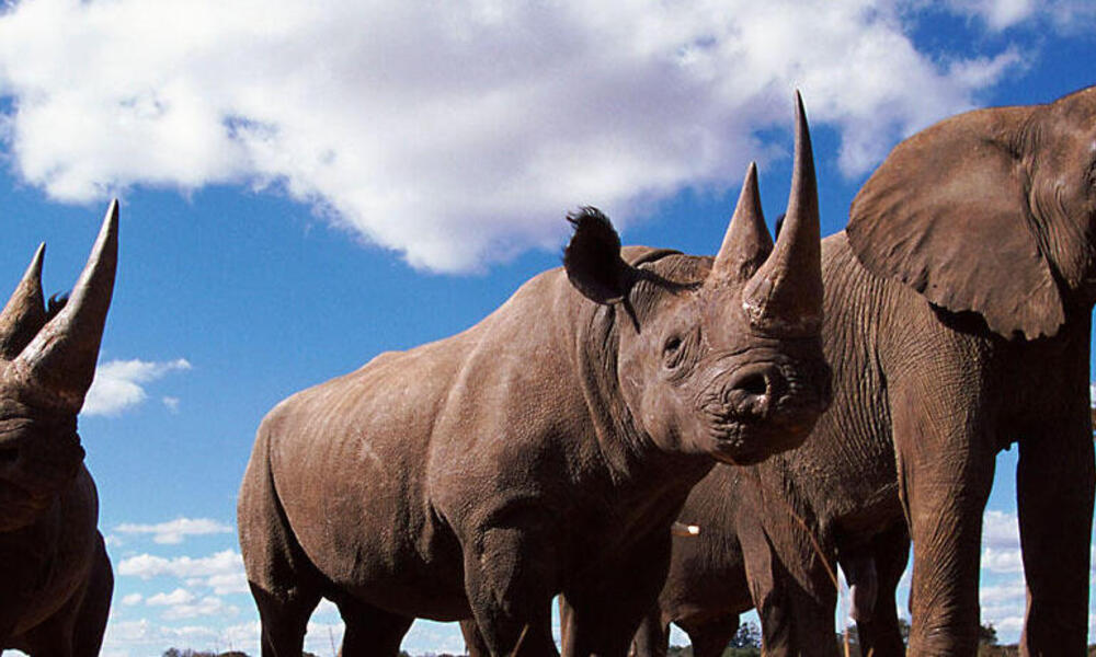 African elephant and rhinos