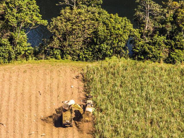 A farmer harvesting sugarcane