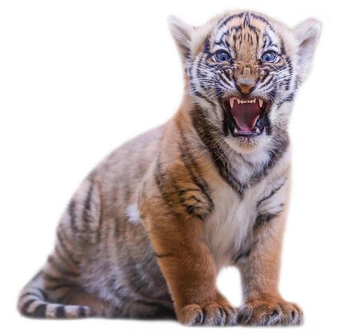 fastforward tigercub fall2018