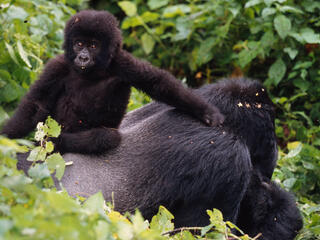 Silverback gorilla with youngster