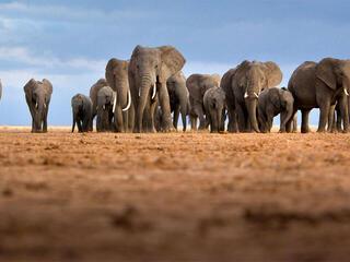 feature illus african elephantherd winter2018