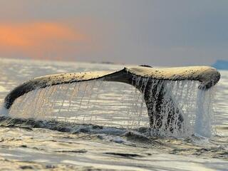 The fluke of a humpback whale diving to feed