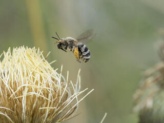 Wide shot of a flying bee preparing to land on a tan plant