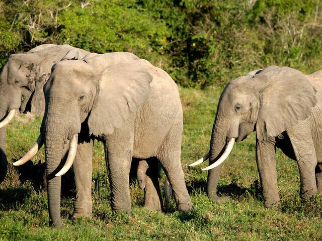 forest elephant WW139203