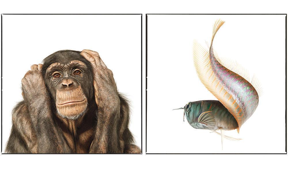 Common Chimpanzee, Silver Arowana