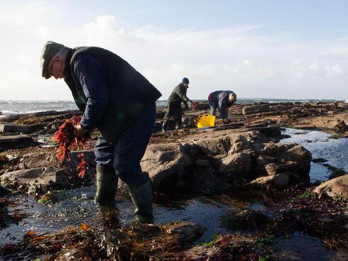 Mickey Talty gathering kelp in Ireland