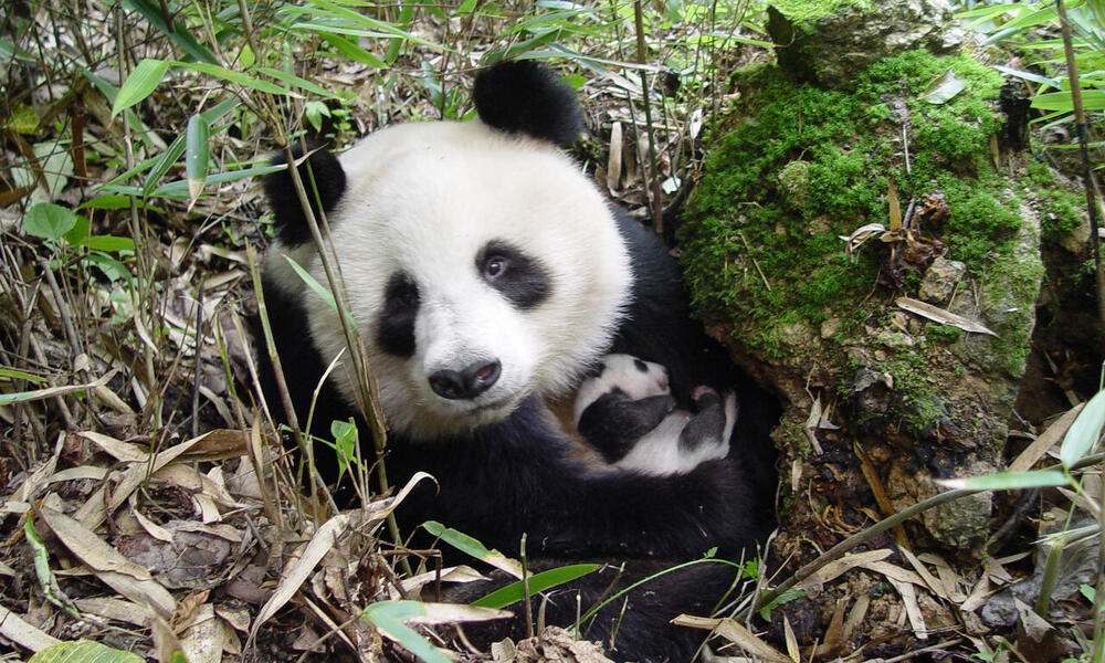 giant panda with cub